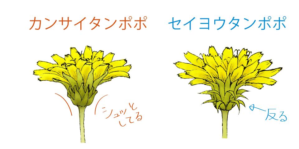 キク科の頭花